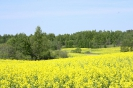 Zied rapšu lauki Ozolaines pagastā_12
