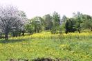 Zied rapšu lauki Ozolaines pagastā_2