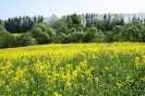 Zied rapšu lauki Ozolaines pagastā