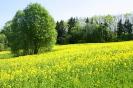 Zied rapšu lauki Ozolaines pagastā_8