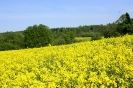 Zied rapšu lauki Ozolaines pagastā_9