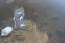 Zivju mazuļu ielaišana Pūpolu dīķī